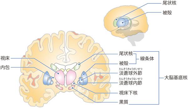 パーキンソン病 Minds版やさしい解説脳のしくみとはたらき