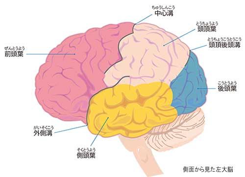 脳卒中 Minds版やさしい解説脳のつくりとはたらき
